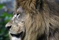 Closeup portrait of lion in chiang mai zoo Stock Photos