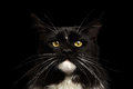 Closeup Portrait Maine Coon Cat Looking Camera, Isolated Black Background Royalty Free Stock Photo