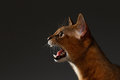 Closeup Portrait of Meowing Abyssinian cat  on black background Royalty Free Stock Photo