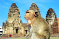 Closeup portrait of a monkey in front of prang sam yot the khmer temple in lopburi Stock Photos