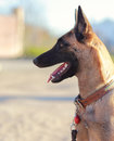 Closeup portrait of profile shepard dog looking outdoors background Royalty Free Stock Images