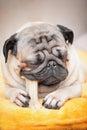 Closeup Portrait A Pug Dog Who...