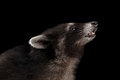 Closeup Portrait sniffing Baby Raccoon isolated on Black Background Royalty Free Stock Photo