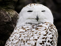 Closeup portrait of a Snowy Owl Royalty Free Stock Image