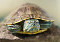 Closeup portrait of a tortoise red ear blurred background Royalty Free Stock Images
