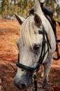 Closeup Portrait Of White Hors...