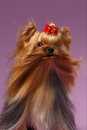 Closeup Portrait Yorkshire Terrier Dog with fan on Purpure Royalty Free Stock Photo