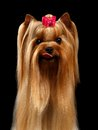 Closeup portrait of yorkshire terrier dog showing tongue on black background Stock Photo