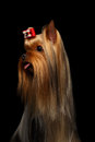 Closeup portrait of yorkshire terrier dog showing tongue on black background Royalty Free Stock Photo