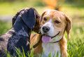 Closeup portraits two playing dogs in green grass Royalty Free Stock Photo