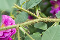 Closeup of the prickle of a rose flower at sunny day Stock Image