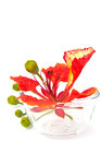 Closeup pride of barbados isolated on white Royalty Free Stock Image