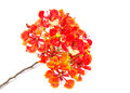 Closeup pride of barbados isolated on white background Stock Photography