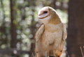 Closeup Profile of a Barn Owl Raptor Stock Images