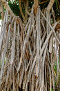 Closeup prop roots anchoring tree of screwpine to the ground Royalty Free Stock Photo