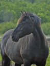 Closeup purebred canadian horse also known as cheval canadien breed descended king louis xiv stables official symbol canada Stock Photos