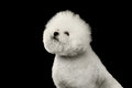 Closeup purebred white bichon frise dog proudly isolated on black sitting and looking up background Stock Images