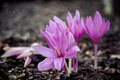 Closeup of purple autumn crocus Royalty Free Stock Images
