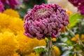 Closeup of purple chrysanthemum flower head Royalty Free Stock Photo