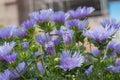 purple dandelion in a garden Royalty Free Stock Photo