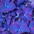 Closeup of purple dark blue hortensia flowers Royalty Free Stock Photo