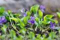 Closeup Purple Flowers Bloomin...