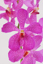 Closeup Purple Orchid Stock Photography