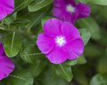 Closeup of a purple periwinkle, catharanthus rosea Royalty Free Stock Photo