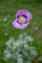 Closeup of purple poppy flower on a meadow in bright sunlight. Royalty Free Stock Photo
