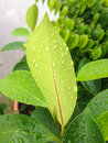 Closeup raindrops on back green leaf Royalty Free Stock Photo