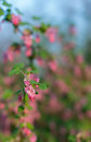 Closeup of a red flowering currant bush details the flowers shrub against its natural background outdoors Stock Images