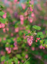 Closeup of a red flowering currant bush details the flowers shrub against its natural background outdoors Royalty Free Stock Photos