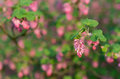 Closeup of a red flowering currant bush details the flowers shrub against its natural background outdoors Stock Photography