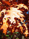 Closeup of red orange oak leaves hanging on tree in fall Royalty Free Stock Photo