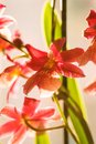Closeup of Red orchid flowers Royalty Free Stock Photo