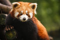 Closeup of red panda bear poseing in tree faces camera at chengdu research base giant breeding center sichuan china Stock Photo