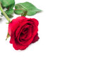 Closeup red rose color on white background, love and romantic co Royalty Free Stock Photo