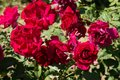Closeup red rose flowers on tree, Romance concepts, Macro images Royalty Free Stock Photo