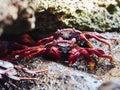 Closeup of red Sally Lightfoot Crab feeding on black rock Royalty Free Stock Photo
