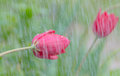 Closeup of a red Tulip in the rain. Royalty Free Stock Photo