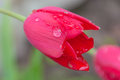 Closeup of a red Tulip with rain drops. Royalty Free Stock Photo