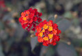 A closeup of red and yellow lantana flowers from australia Stock Photos