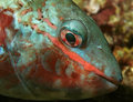 Closeup of Redband Parrotfish Stock Images