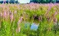 Closeup of reddish purple flowering Purple Loosestrife plants Royalty Free Stock Photo