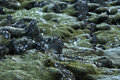Closeup of resistant moss on volcanic rocks in iceland green Stock Photos