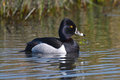 Closeup ring necked duck view of male on a pond Royalty Free Stock Photo