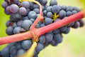 Closeup of ripe red vine grapes Stock Image