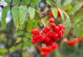 Closeup of ripe rowan berries mature red colored hanging at a small twig a or sorbus tree Stock Images