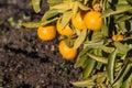 Closeup of ripe satsumas on tree in garden Royalty Free Stock Photo