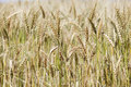 Closeup of ripe wheat stalks Royalty Free Stock Photos